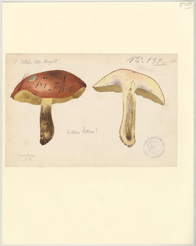 Bolet jaune ; Cèpe jaune ; Nonette voilée ; champignon_0
