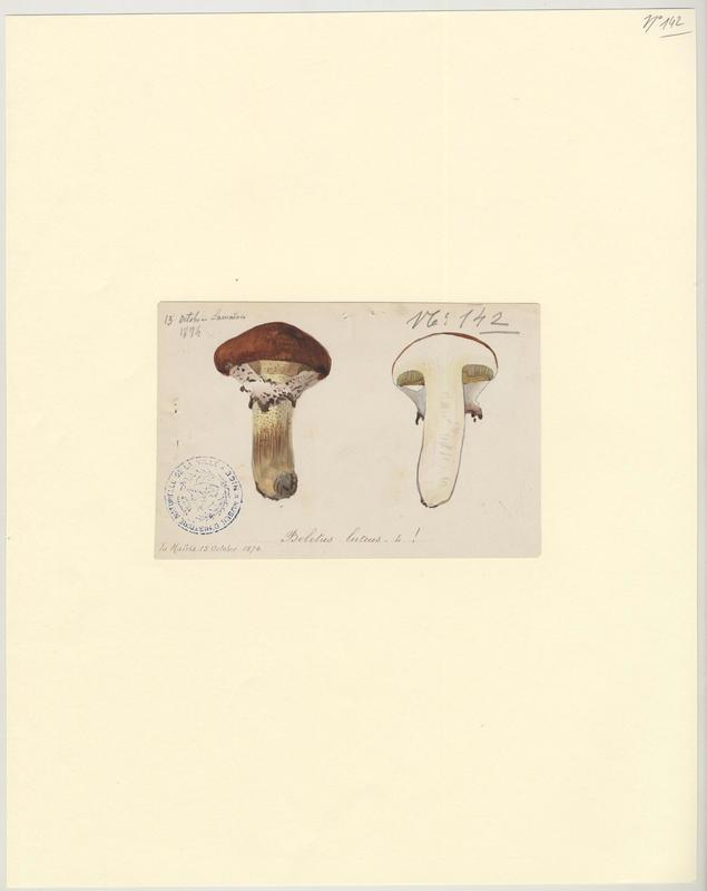 Nonnette voilée ; Bolet jaune ; Cèpe jaune ; champignon