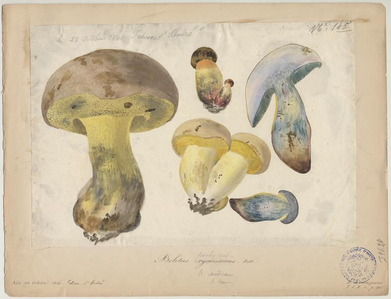 Bolet indigotier ; Bolet bleuissant ; champignon_0