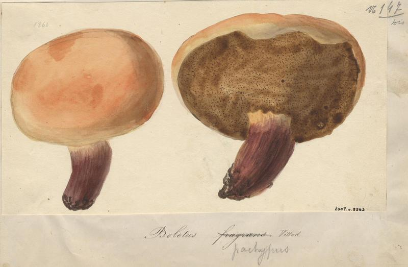 Bolet odorant ; champignon