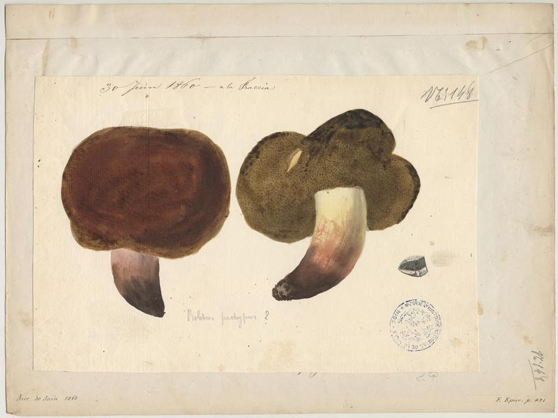 Bolet odorant ; champignon_0