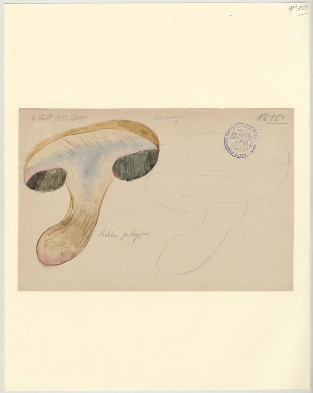Bolet radicant (?) ; champignon_0