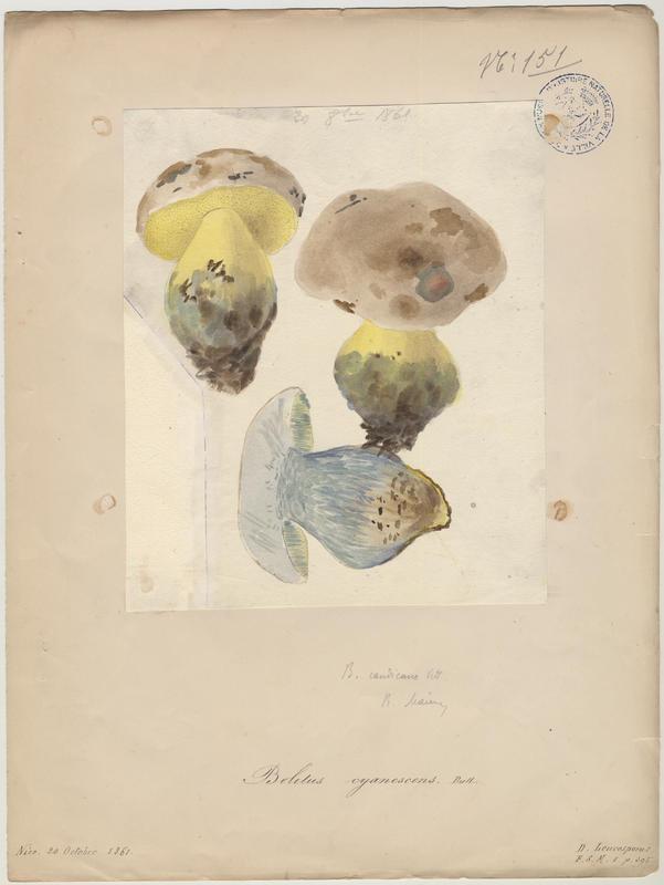 Bolet indigotier ; Bolet bleuissant ; champignon