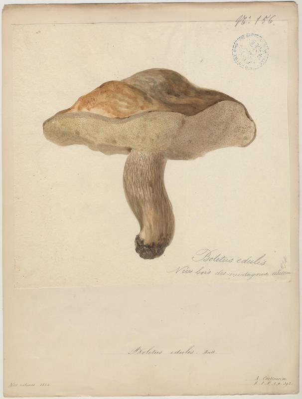 Cèpe de Bordeaux ; Gros-pied ; Potiron polonais ; champignon