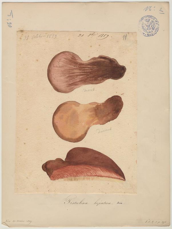 Langue de boeuf ; champignon