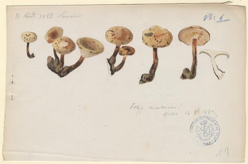 Polypore alvéolé ; champignon_0