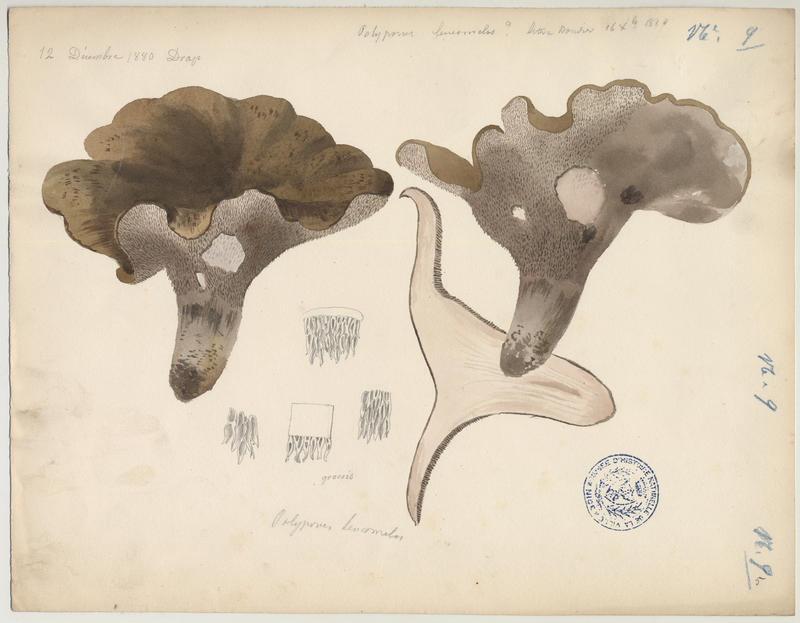 Polypore blanc-noirâtre ; champignon_0