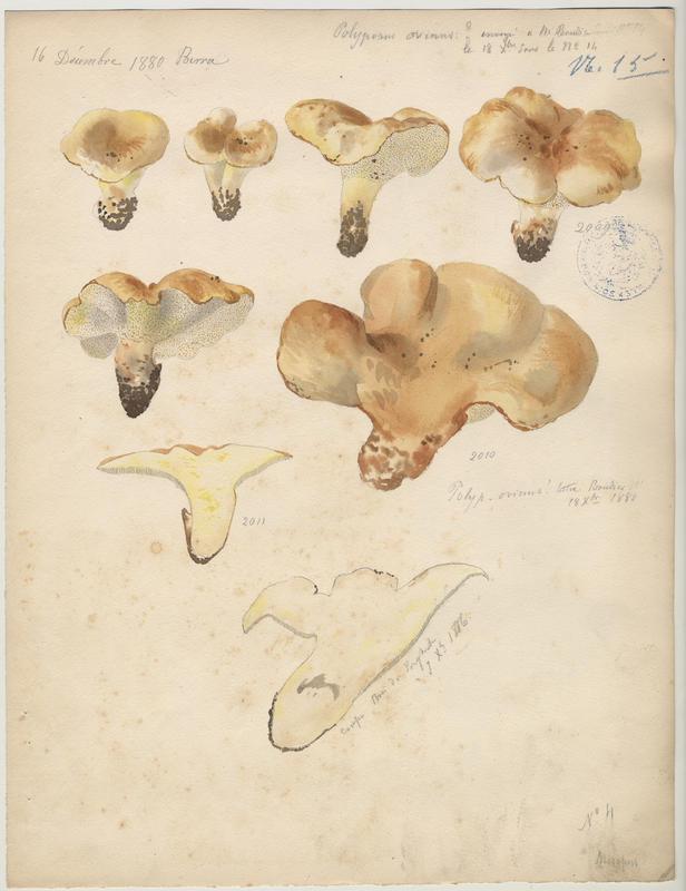 Polypore des brebis ; champignon