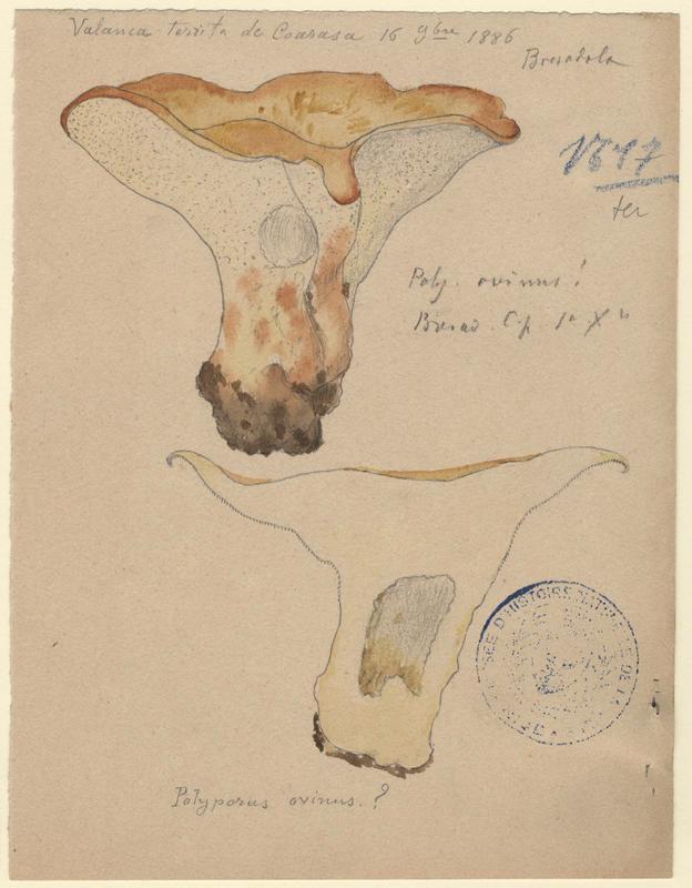 Polypore des brebis ; champignon_0