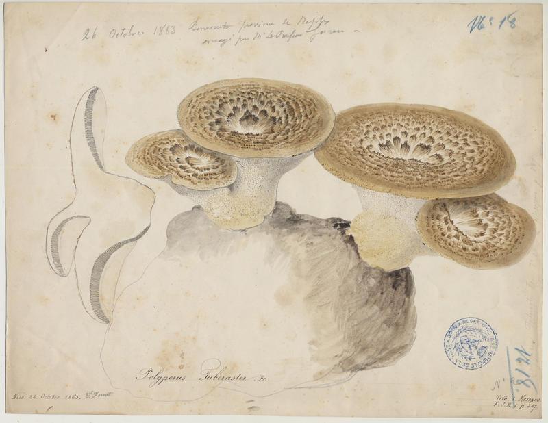 Polypore à sclérote ; champignon