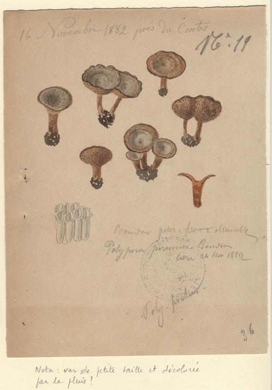 Polypore persistant ; champignon