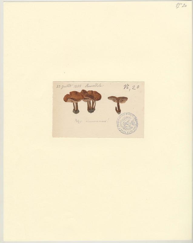 Polypore cannelle ; champignon