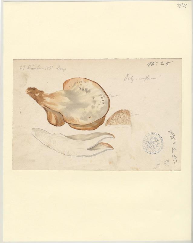 Polypore confluent ; champignon_0