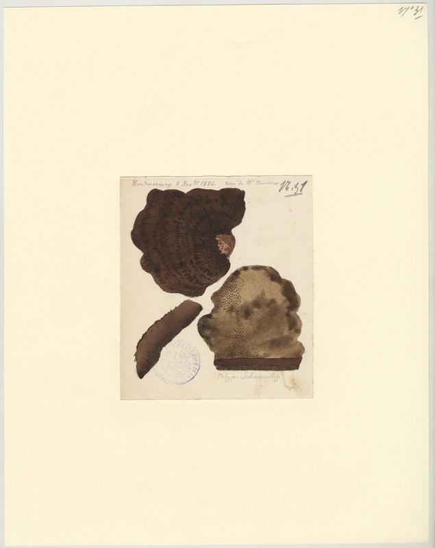 Polypore éponge ; Phéole de Schweinitz ; Polypore des teinturiers ; champignon
