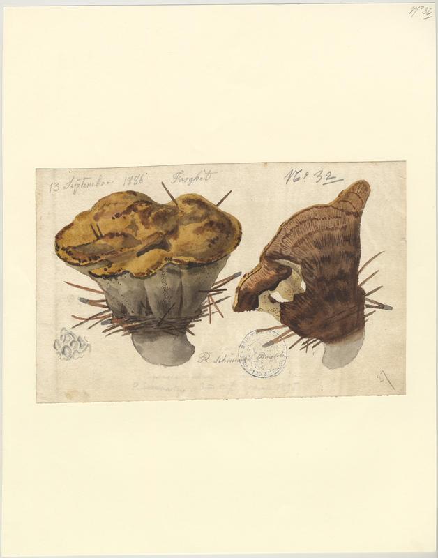 Polypore éponge ; Phéole de Schweinitz ; Polypore des teinturiers ; champignon_0