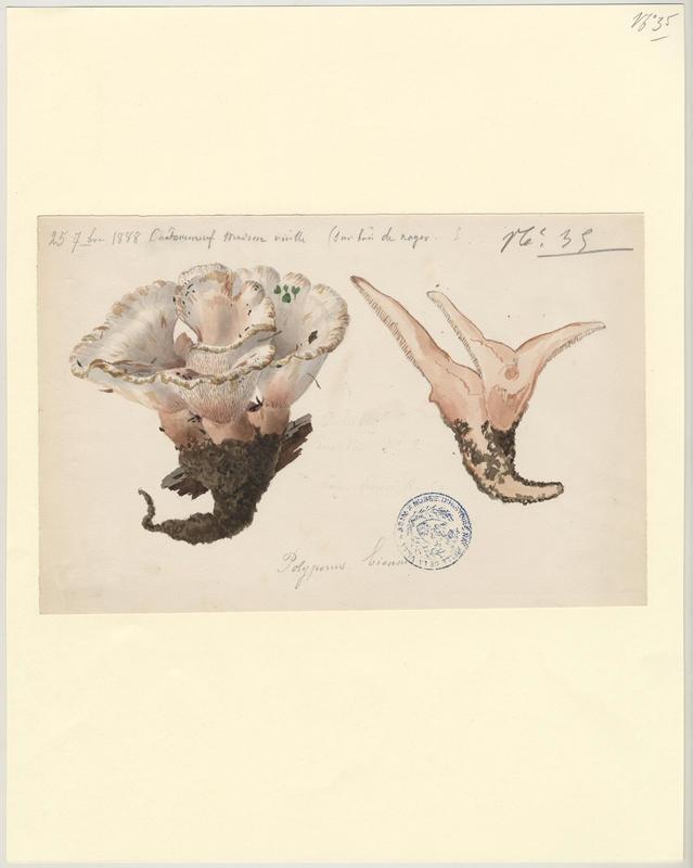 Polypore biennal ; champignon_0