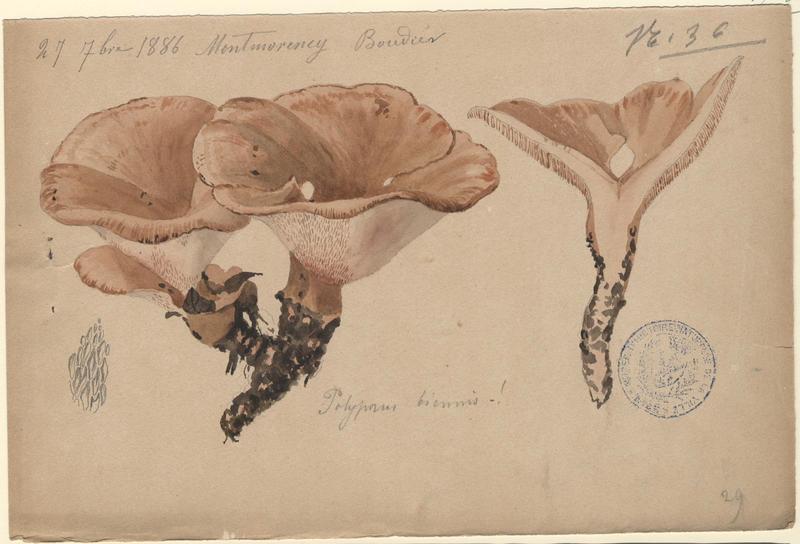 Polypore biennal ; champignon