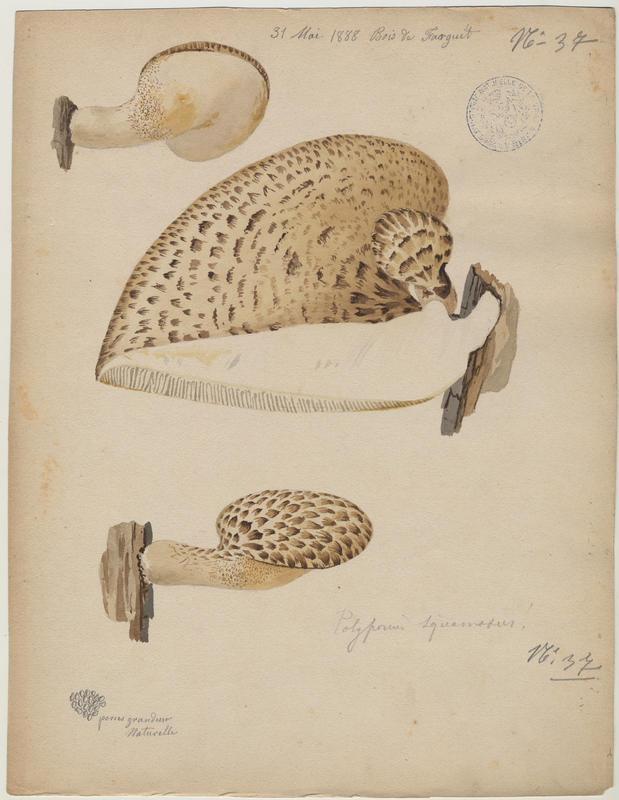 Polypore écailleux ; champignon_0