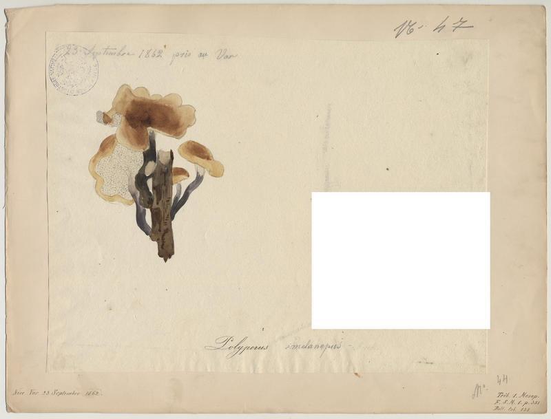 Polypore à pied noir ; champignon