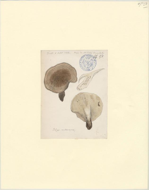 Polypore à pied noir ; champignon_0