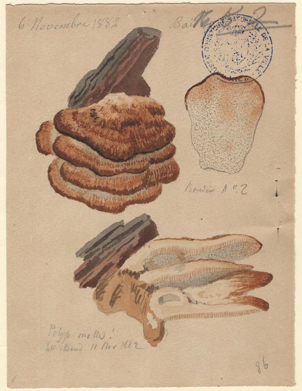 Tramète à odeur d'abricot ; Polypore mou ;  champignon