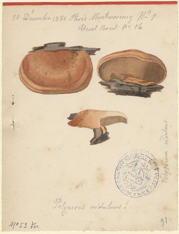 Polypore rutilant (?) ; champignon