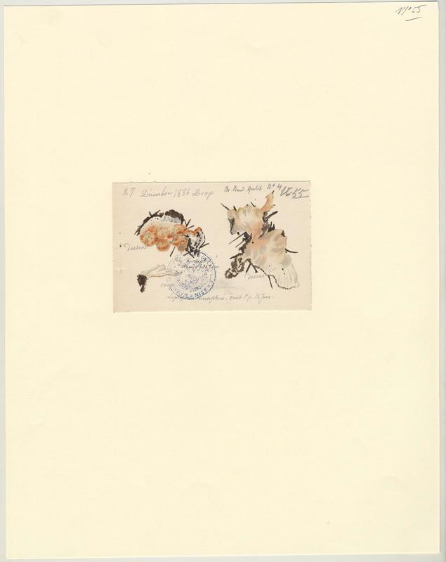 Tramète saumonée ; champignon