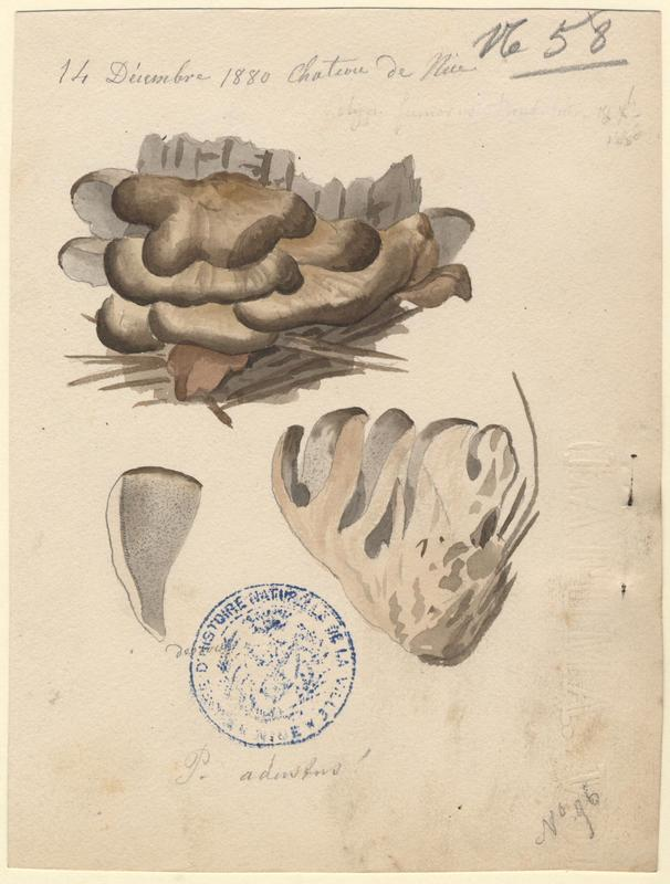Tramète brûlée ; Polypore brulé ; champignon