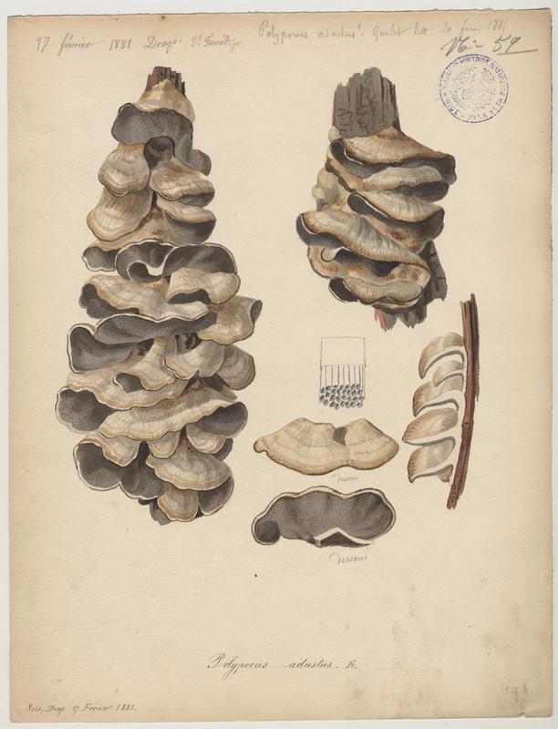 Tramète brûlée ; champignon