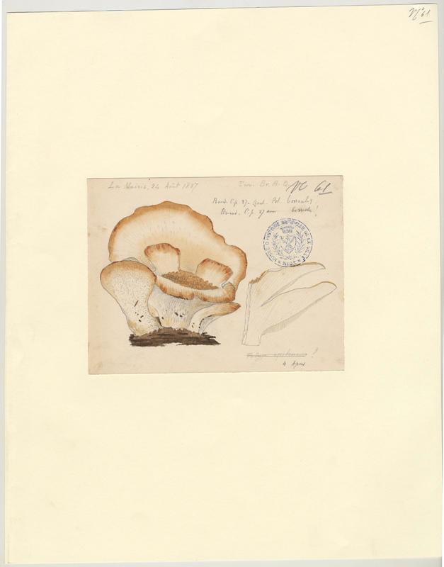 Polypore ; champignon