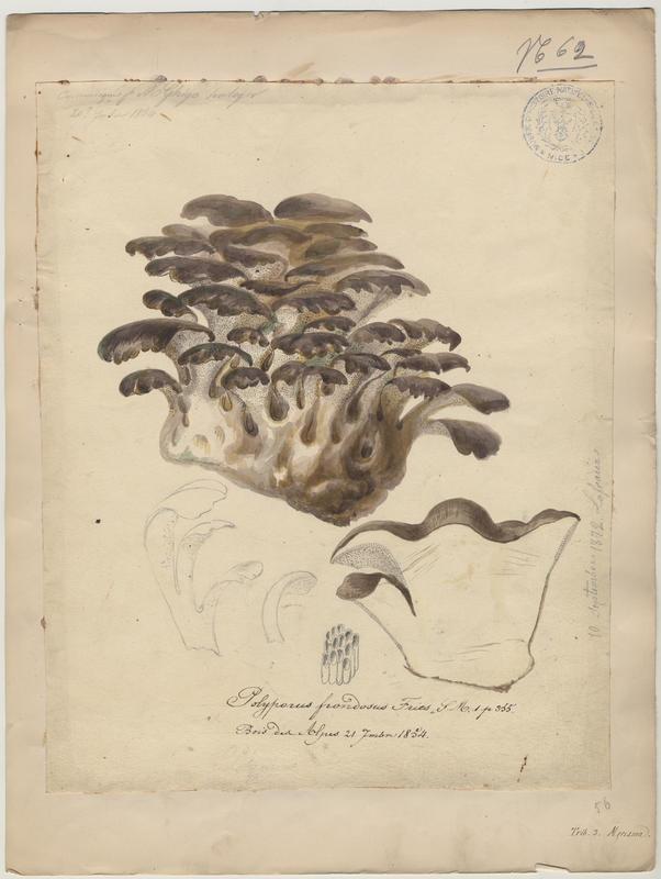 Polypore en touffe ; Polypore en fronde ; Choux-fleur ; Poule des bois ; champignon