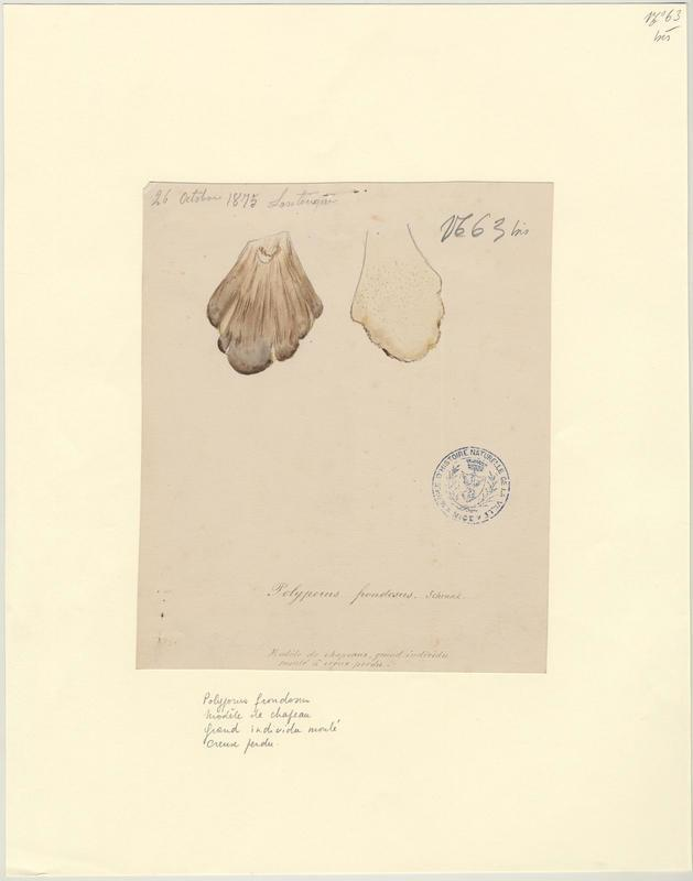 Polypore en touffe ; Polypore en fronde ; Choux-fleur ; Poule des bois ; champignon_0