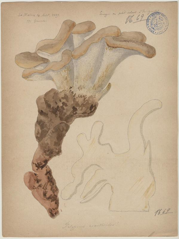 Polypore gigantesque ; champignon