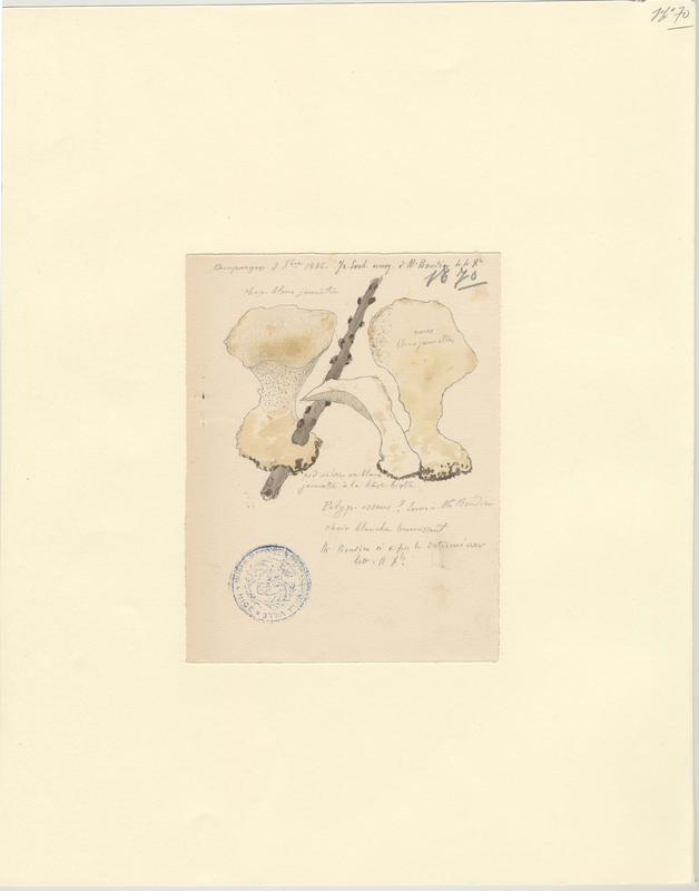 Polypore osseux ; Ostéine sclérosée ; champignon