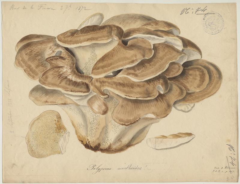 Polypore gigantesque ; champignon_0