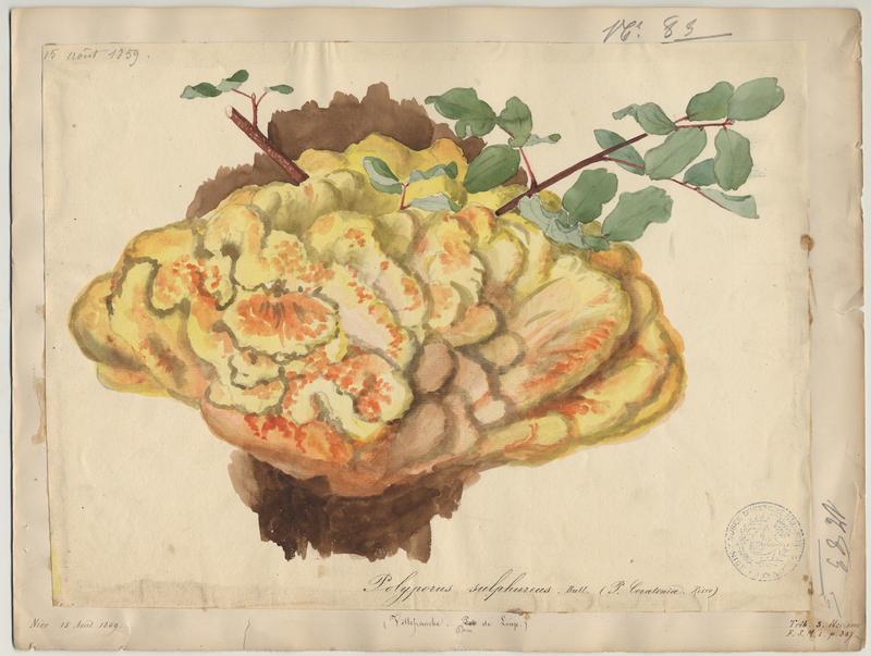 Polypore soufré ; champignon