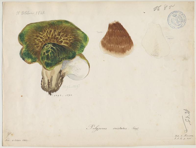 Polypore craquelé ; Polypore à crête ; champignon_0
