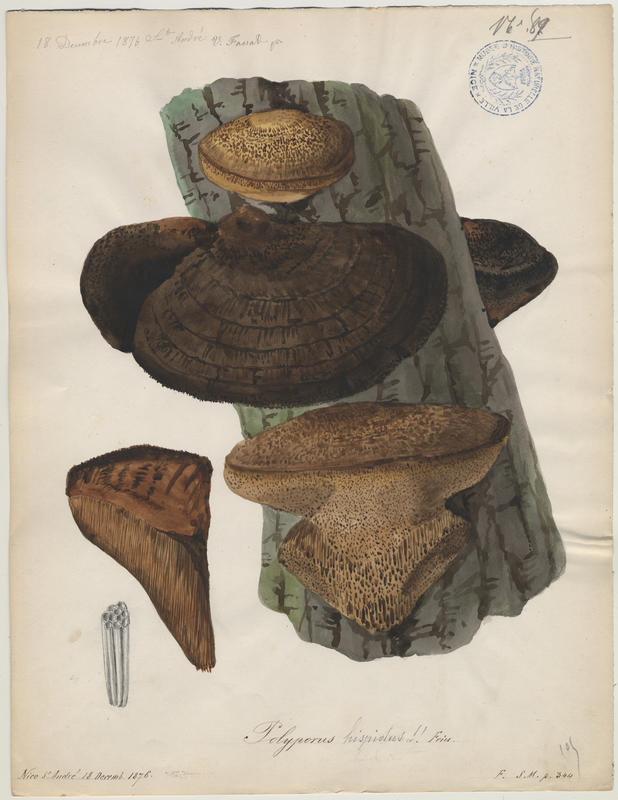 Polypore hérissé ; Polypore hispide ;  champignon