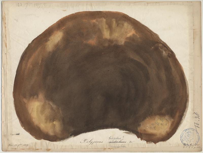 Polypore rutilant ; champignon_0