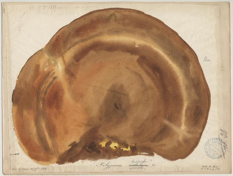 Polypore rutilant ; champignon