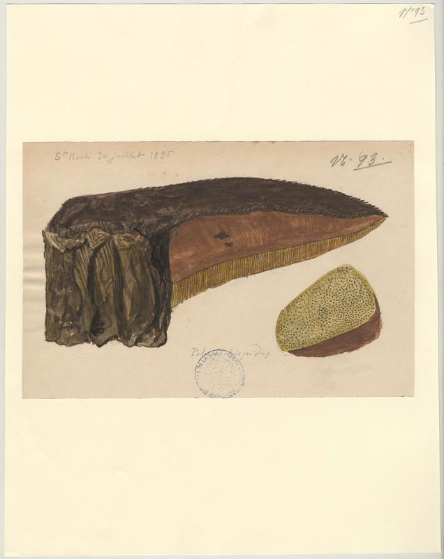 Polypore hérissé ; Polypore hispide ; champignon_0