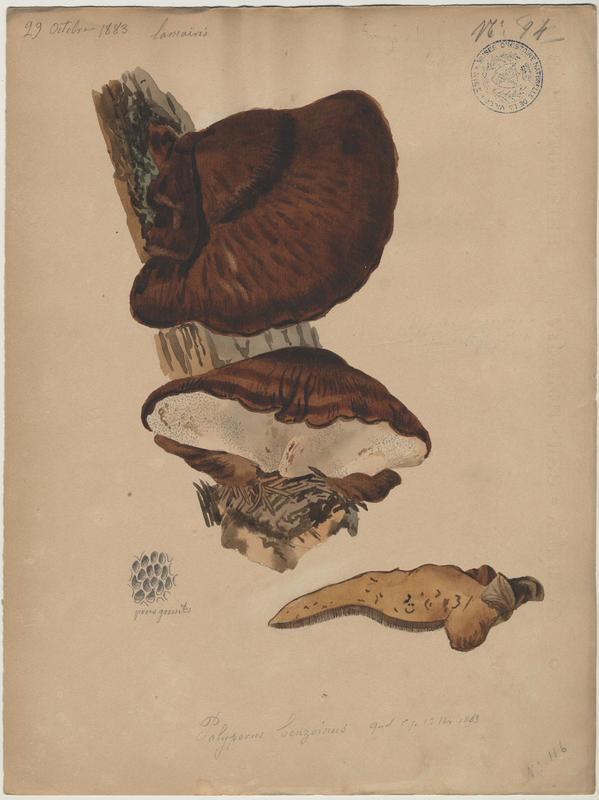 Polypore benjoin ; champignon_0