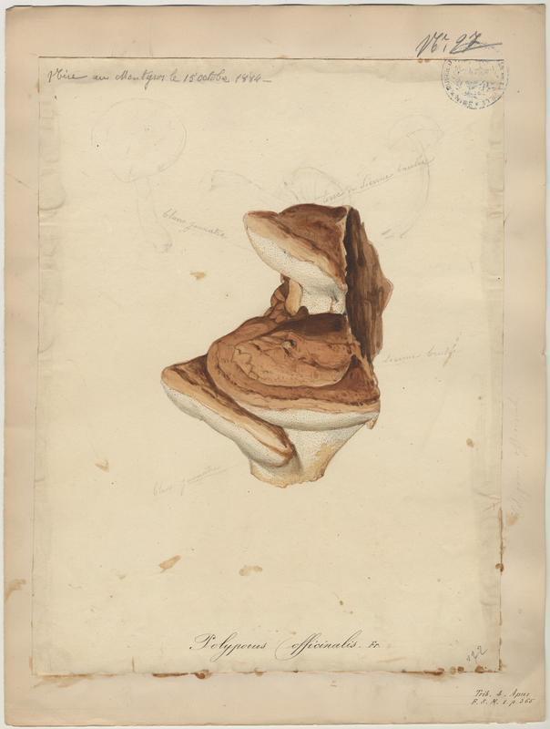 Polypore du mélèze ; champignon_0