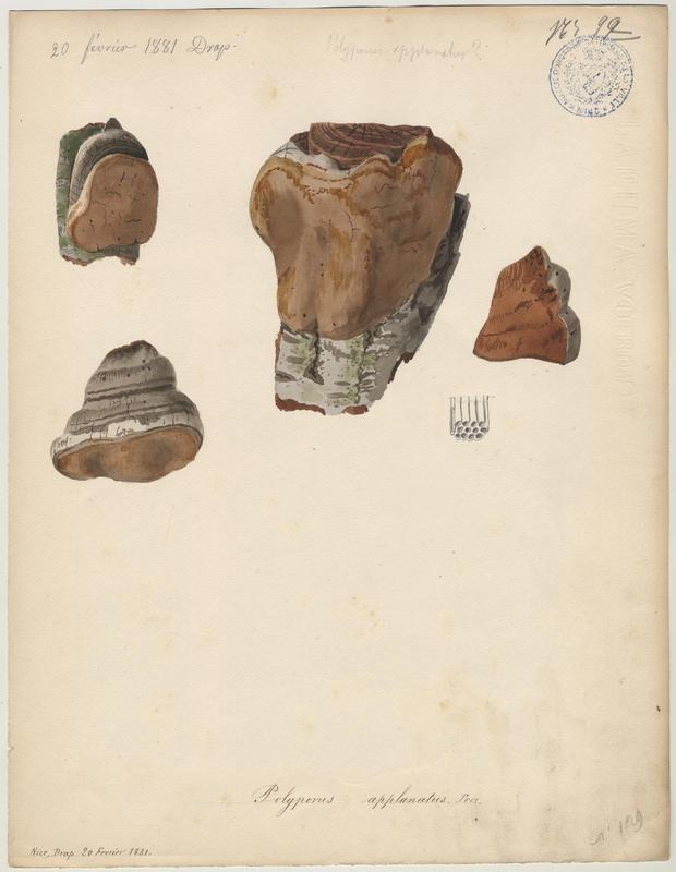 Ganoderme plat ; champignon_0