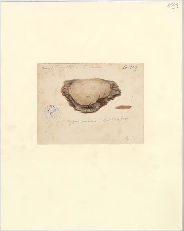 Polypore des vergers ; Phellin des arbres fruitiers ; champignon