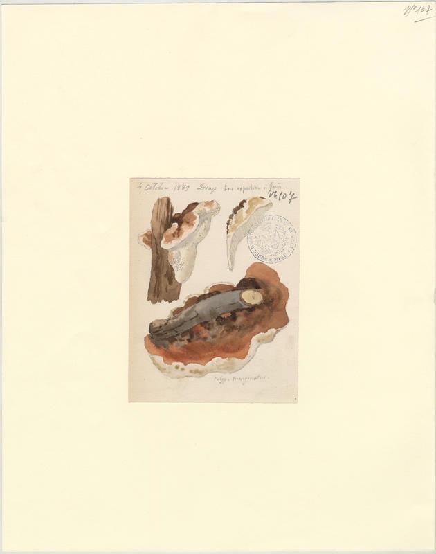 Polypore marginé ; Amadouvier des pins ; champignon_0