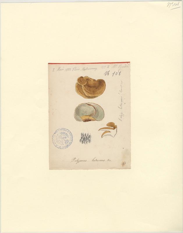 Polypore jaunissant (?) ; champignon
