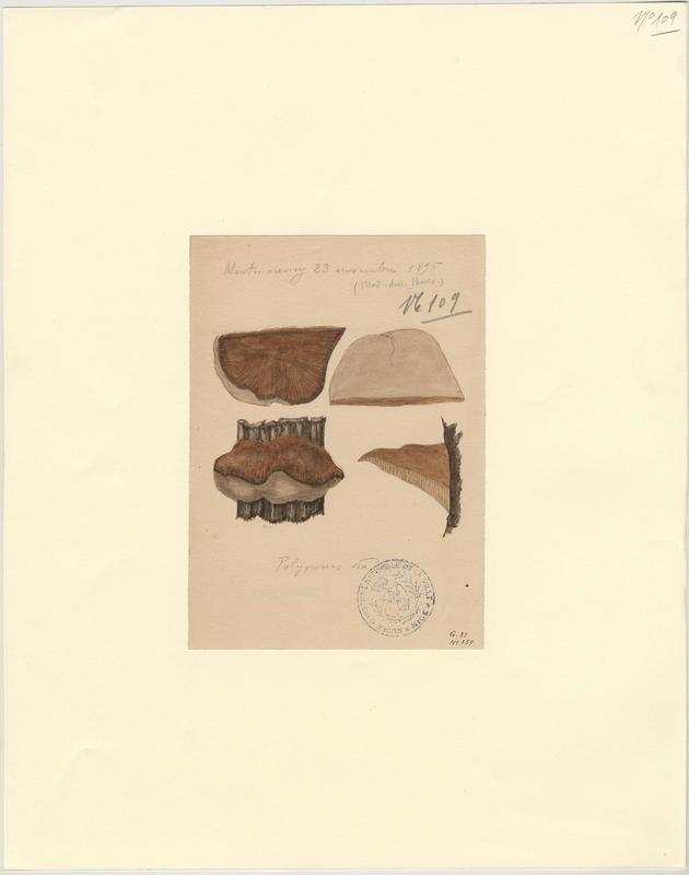 Polypore radié ; champignon_0