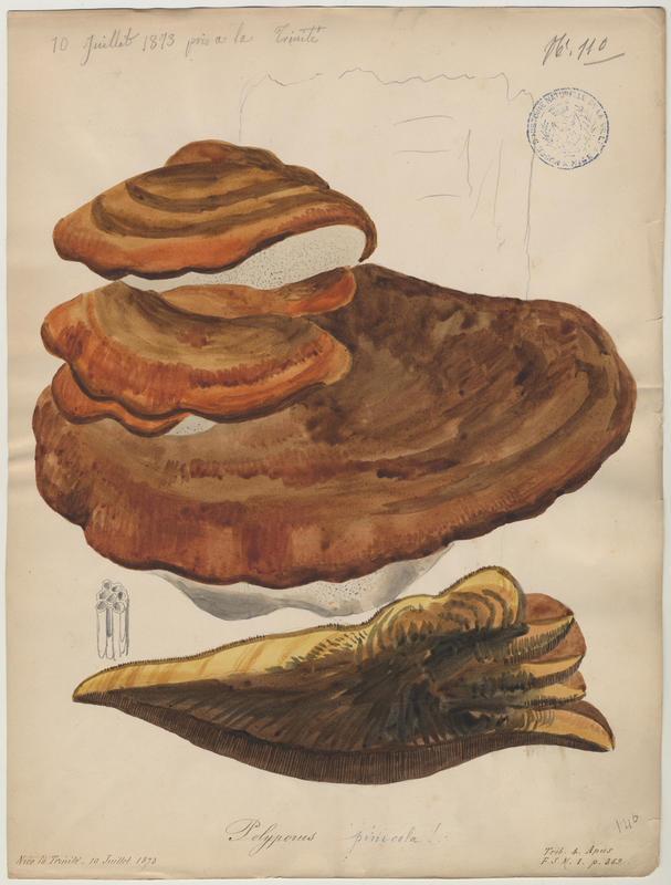 Polypore marginé ;  Amadouvier des pins ; champignon
