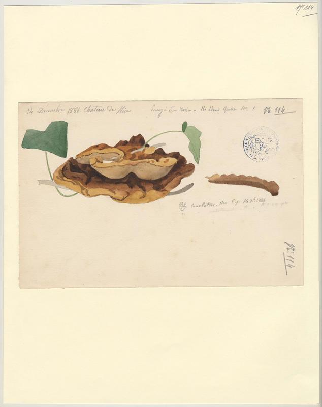 Polypore coquille ; champignon_0